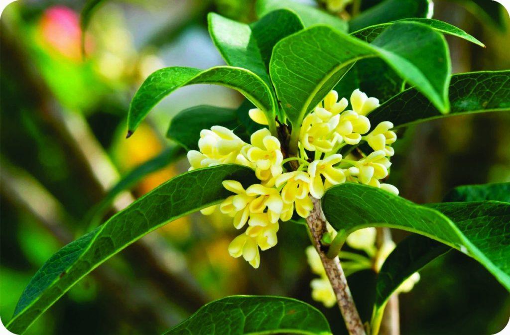 Tipos de flores: jasmim-imperador com flores pequenos.