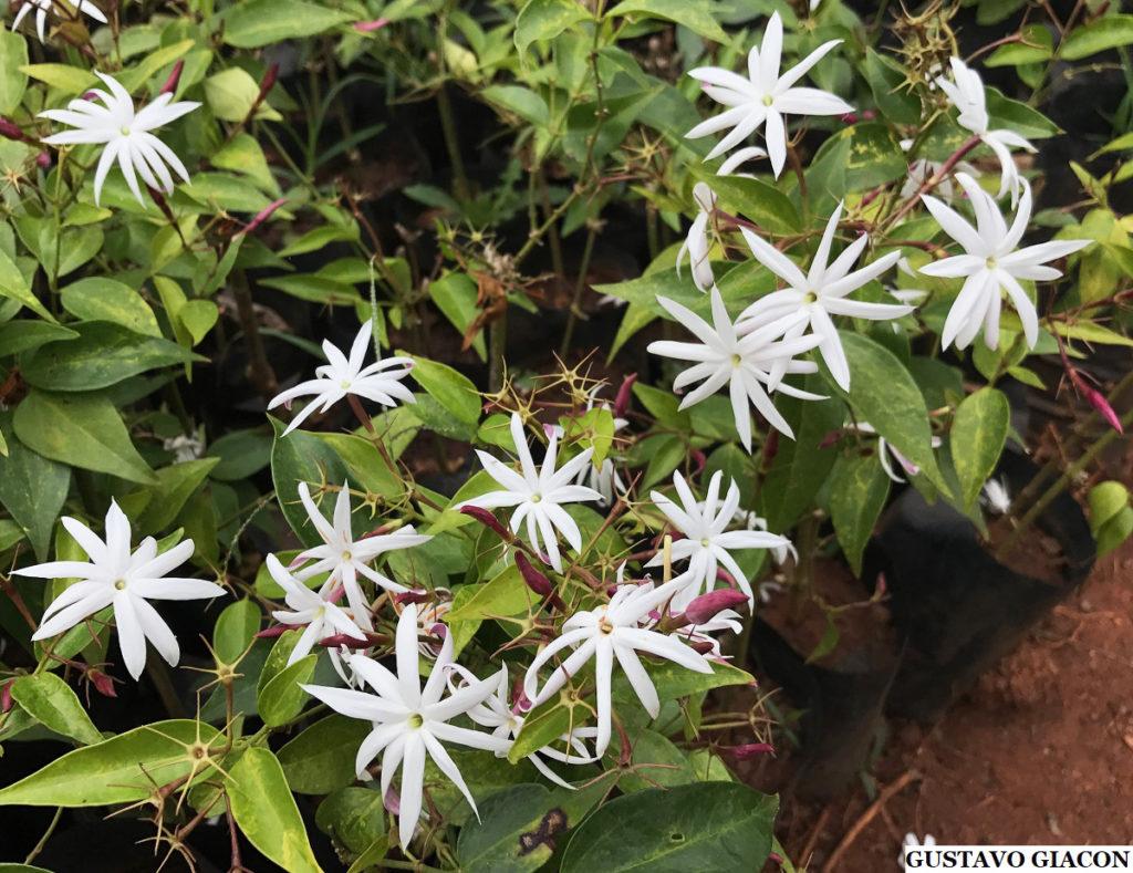 Tipos de flores: jasmim-estrela.