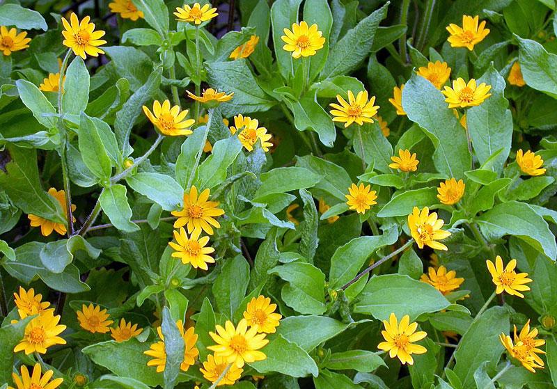 Tipos de flores: botão de ouro.