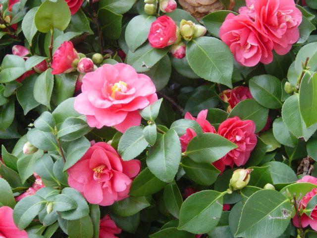 Tipos de flores: camélia rosa.
