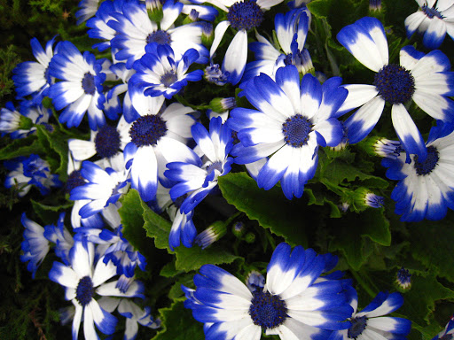 Tipos de flores: cinerária azul e branco.