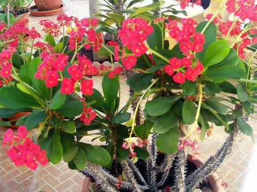 Tipos de flores: vaso de coroa de cristo.