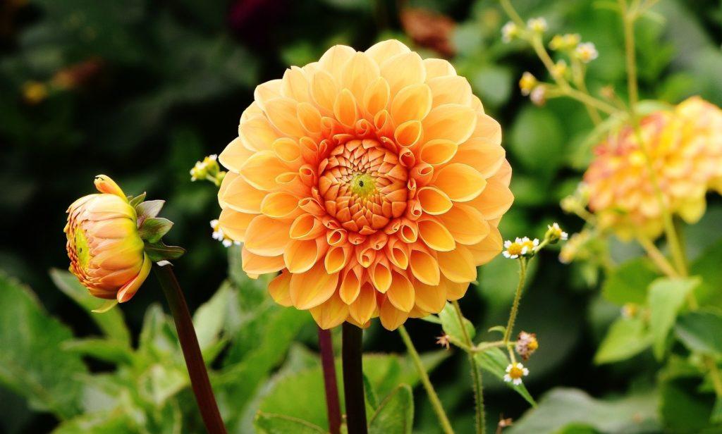 Tipos de flores: dália laranja.