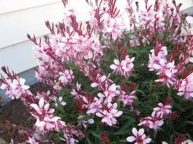 Tipos de flores: arbusto de gaura.