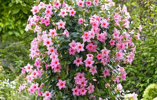 Tipos de flores: dipladênia.