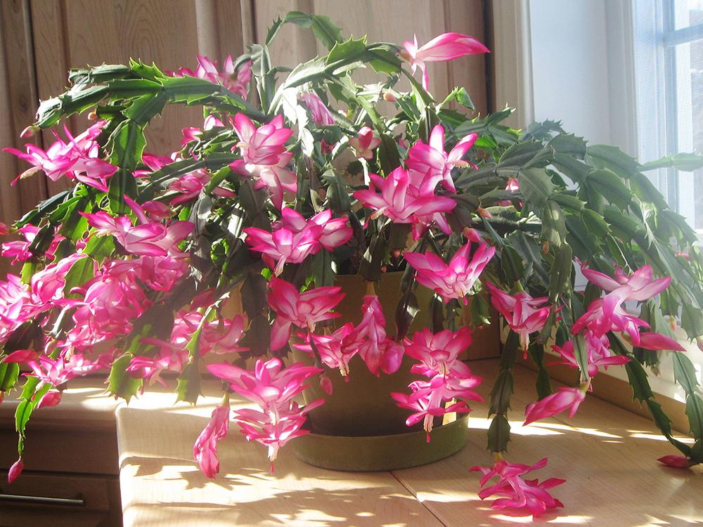 Tipos de flores: vaso de flor de maio.