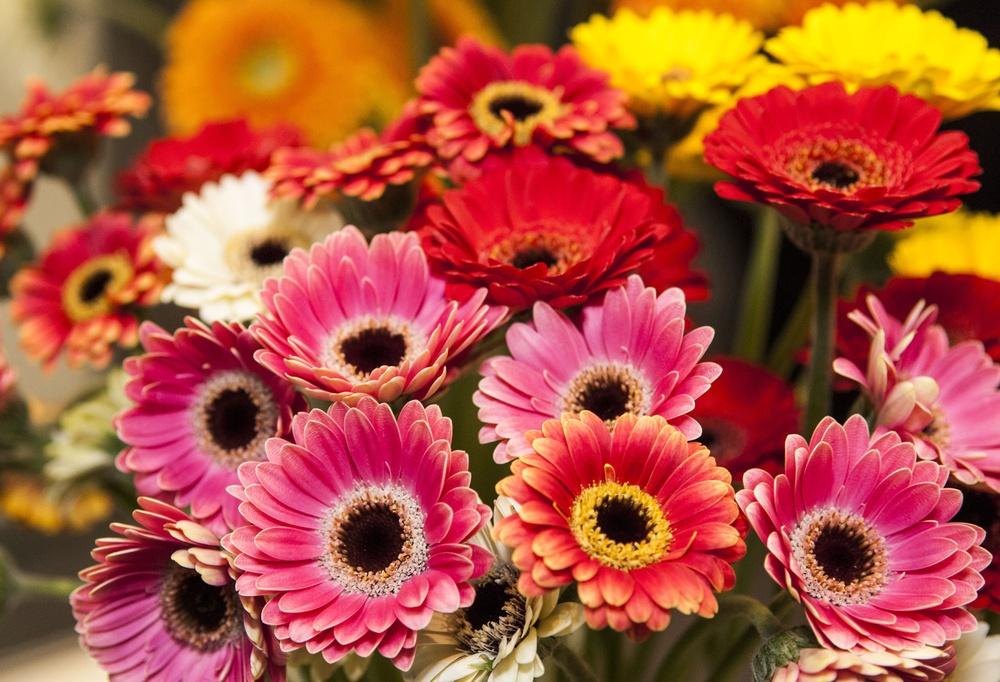 Tipos de flores: gérberas coloridas.