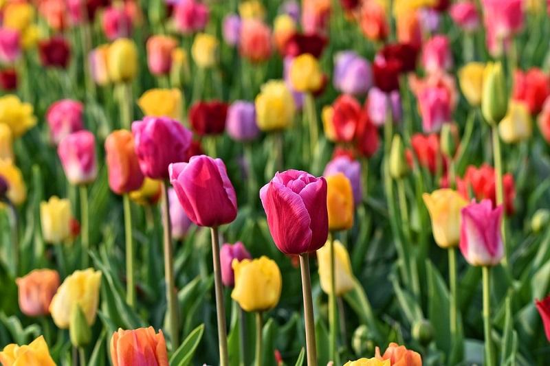 Campo de tulipas coloridas.