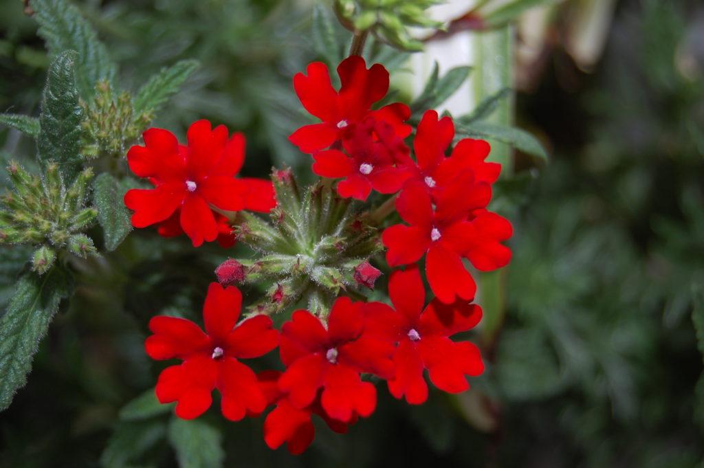 Verbena vermelha.