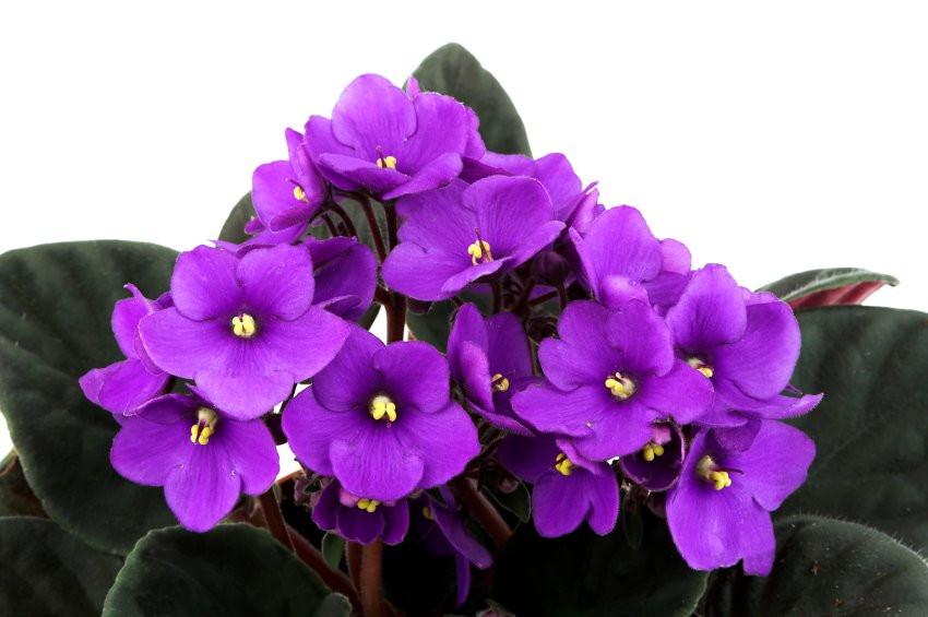 Vaso de violeta.