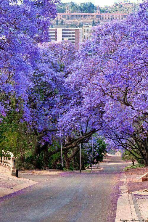 árvore de grande porte com floração lilás em rua