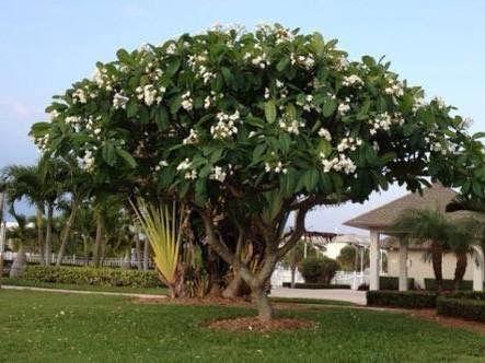 jasmim manga árvore flores brancas para calçada