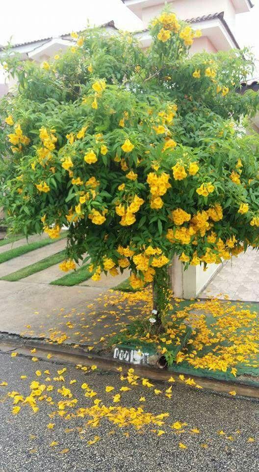 espécie ipê de jardim com flores amarelas na calçada