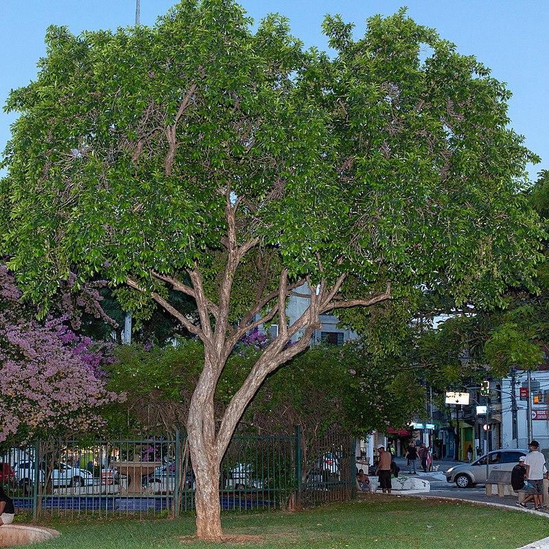 espécie de árvore de grande porte cambuci em praça