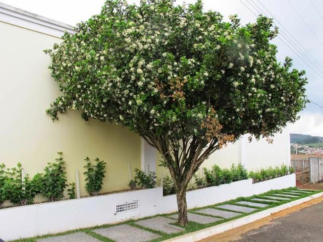 tipo de árvore murta de cheiro na calçada paralela a residência