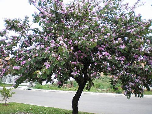 pata de vaca flores brancas e lilás arborização urbana