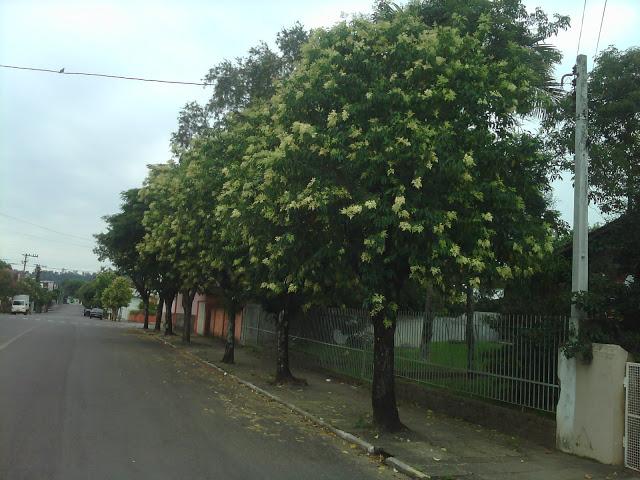 arvore para calçada espécie Alfeneiro na arborização urbana