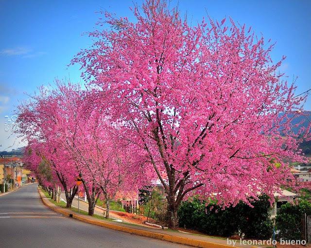 espécies de árvores tipo cerejeiras com flores rosa intenso