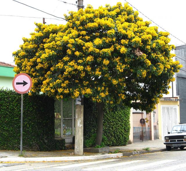 pau fava flores amarela na arborização urbana