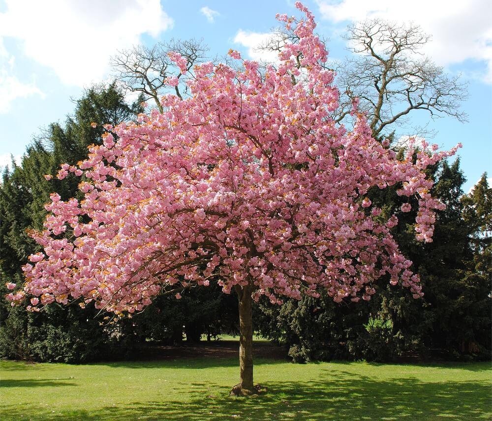 árvore de médio porte com floração rosa em área verde