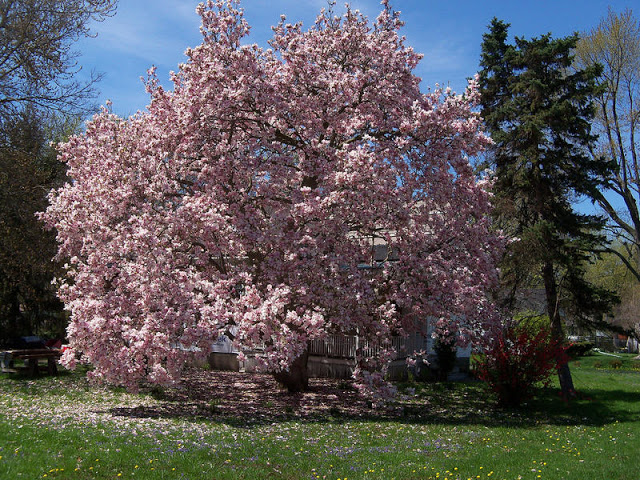 espécie de árvore magnólia com flores lilás