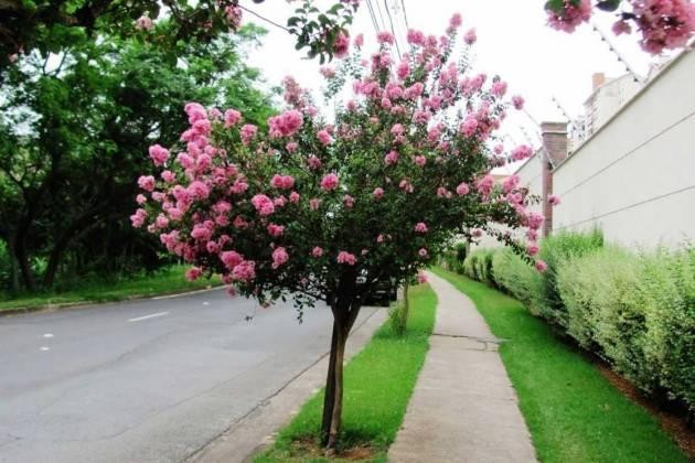 árvore tipo extremosa florida na calçada