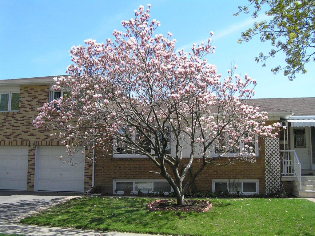 arvore magnolia florida na urbanização