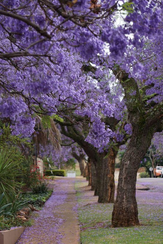 árvores para calçada de grande porte do tipo jacarandá mimoso com flores roxas