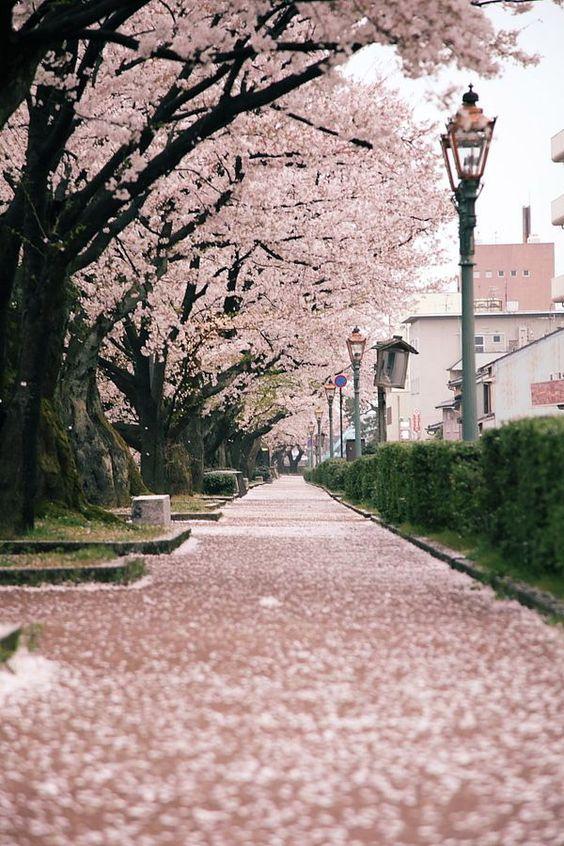 alameda de cerejeiras