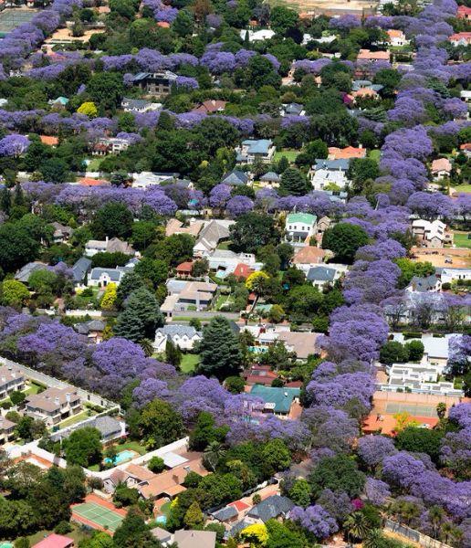 árvores floração roxa em todas as calçadas na urbanização