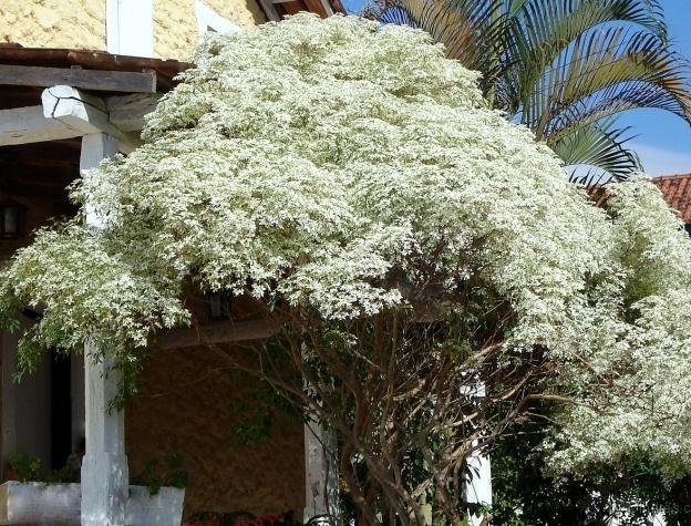 tipo noivinha arvore de calçada com flores brancas
