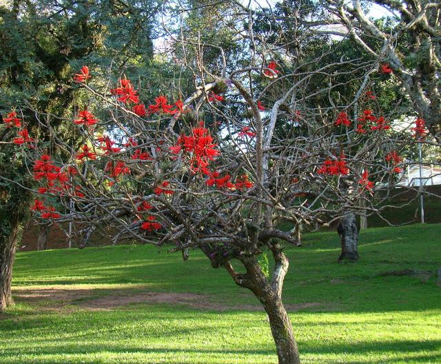tipo de árvore com flores vermelhas candelabro
