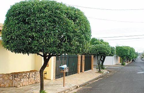 arborização urbana oiti