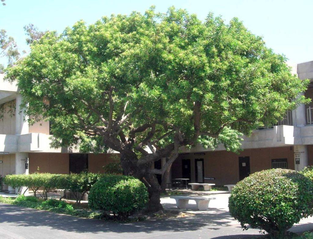 espécie de árvore grande porte aroeira mansa