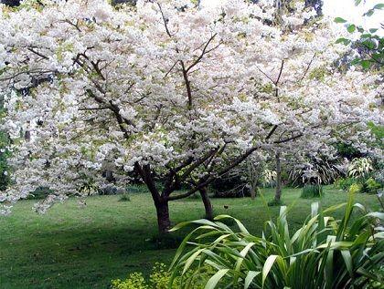 arvore florida branca médio porte área verde
