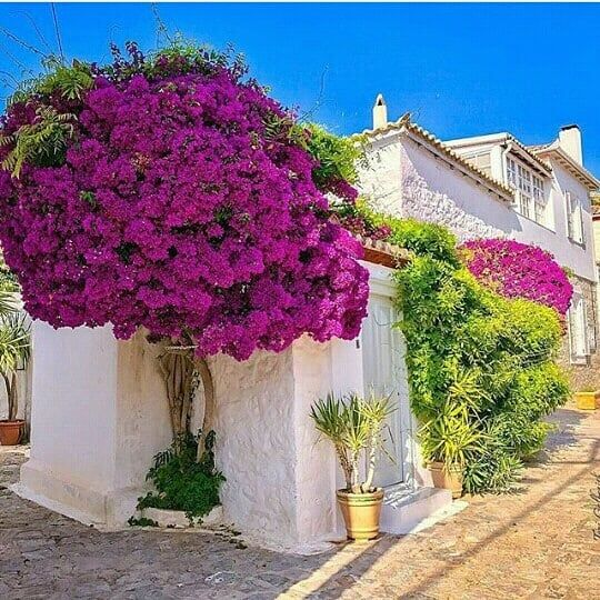 arvore pequeno porte floração rosa intenso rente ao muro