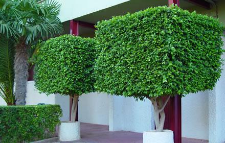 arvores-para-calcadas decoração ornamental