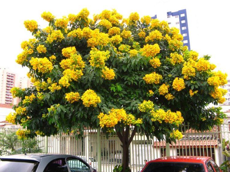 tipo de árvore para calçada com flores amarelas cássia do nordeste