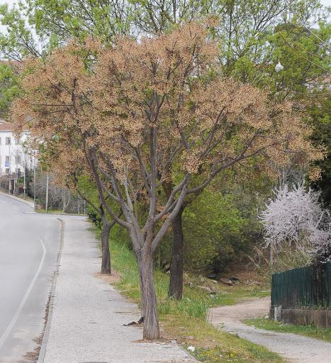 espécie cinamomo em calçada