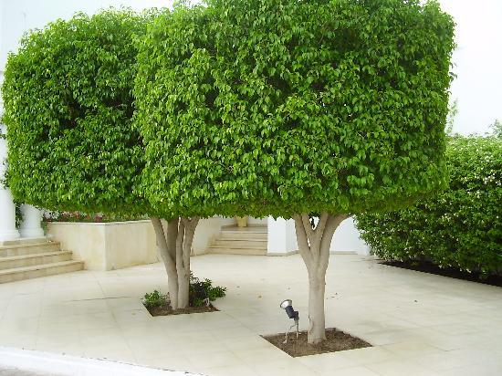 árvore para calçada espécie ficus benjamina ornamental decorativa
