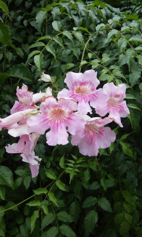 Sete léguas rosa e roxa.