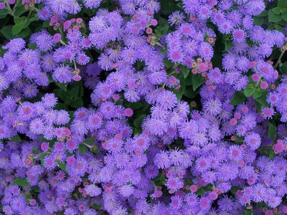 Jardim com várias flores agerato.