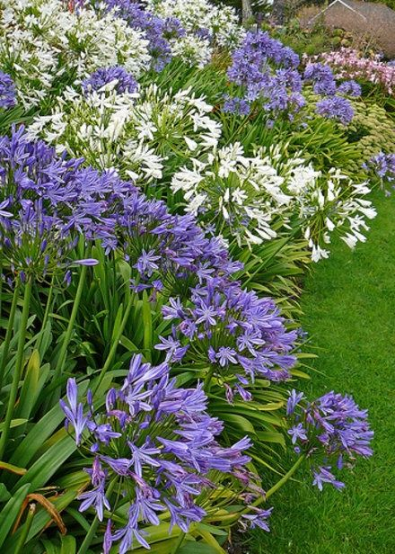 Flores para jardim azuis e brancas.