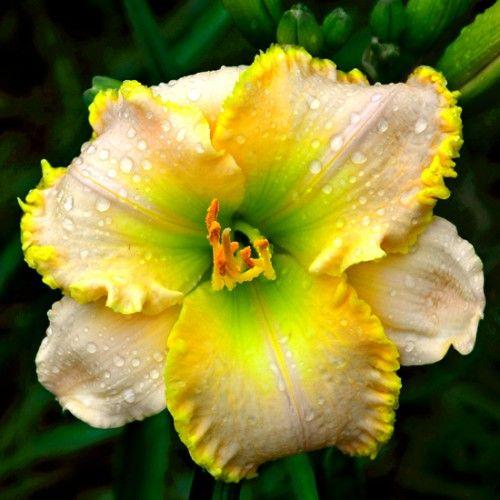 Flor branca e amarela molhada.