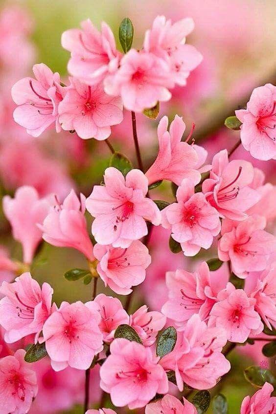 Azaléia rosa.