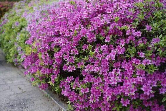 Flores para jardim: arbusto com flores roxas.