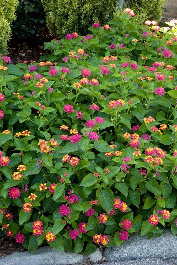 Flores para jardim coloridas.