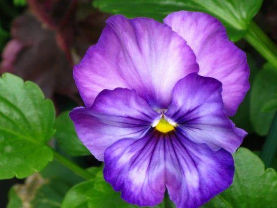 Um flor violeta.