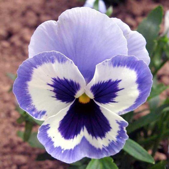 Flores para jardim: amor-perfeito.