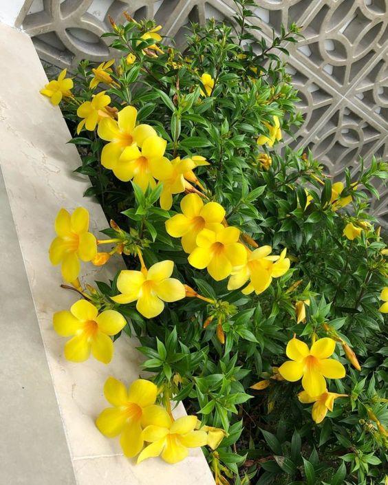 Jardim florido com alamanda.